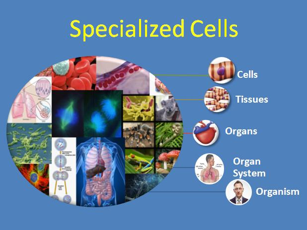 specialized cells puzzle biology puzzle by mrs brosseaus binder