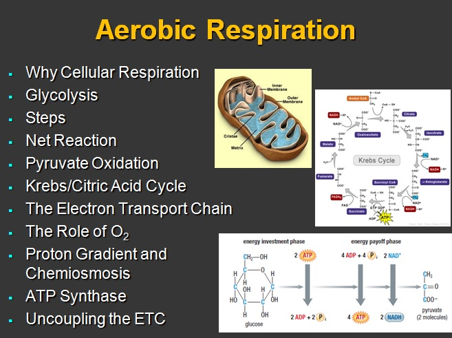 research paper cellular respiration Cellular respiration and carbon dioxide production a record the results of your experiments in the table below carbon dioxide production in humans and germinating.
