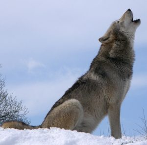 wolf-590756_1280